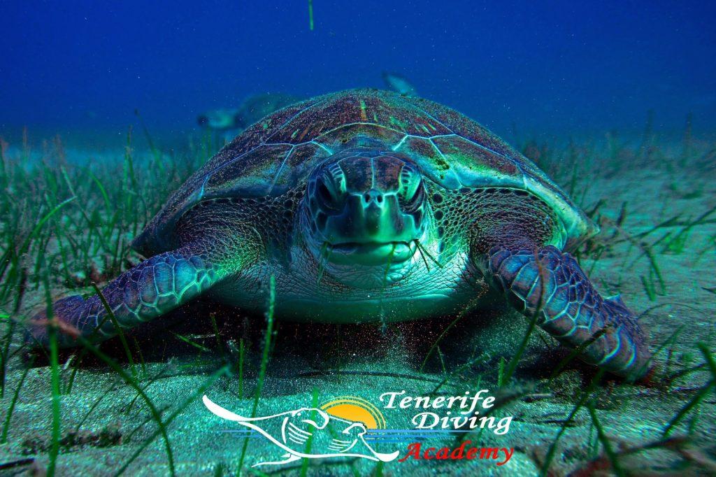 Tenerife Turtle Tenerife Diving Academy